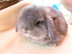 Mini Lop-Eared Bunny!!!! OOMMMGGG!!!