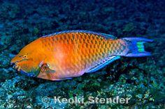 Regal Parrotfish (male)