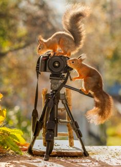 Camera squirrel man - red squirrels standing on a camera with stairs
