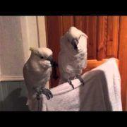 cockatoo loves elvis