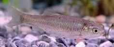 Clase Actinopterygii / Orden Cypriniformes   Familia Cyprinidae   Squalius pyrenaicus   Cacho, cachuelo, leucisco