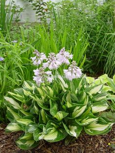 Hosta 'Whirlwind' - would be pretty in the front bed across the front of the house.