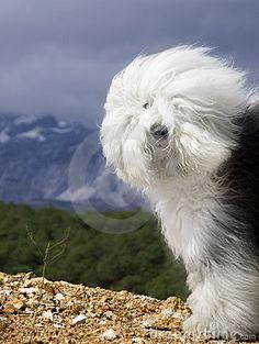 Dog Old English Sheepdog Stock Photos - Image: 7557403