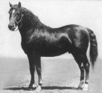 Fleetfield S 1950 Pony Breeds, Horse Breeds, Morgan Horse, Dream Barn, Lineage, Thoroughbred, My Ride, Horse Racing, Beautiful Horses