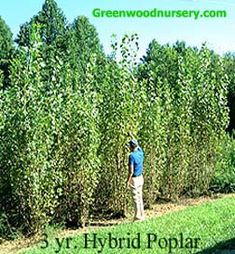 Order your fast-growing privacy trees online. We have Carolina Sapphire Cypress, Willow Hybrid, Thjua Green Giant and more privacy hedges for sale. Hedge Trees, Privacy Trees, Garden Privacy, Privacy Landscaping, Trees To Plant, Landscaping Ideas, Privacy Shrubs, Backyard Privacy, Garden Landscaping