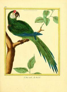 Brazilian parrot,  biodivlibrary