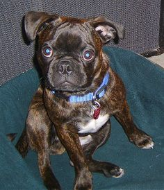this is a type of dog its a mix with pugs and boston terriers and they r called buggs