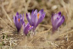 Crocus - sign of spring :) www.simplycarpathians.com