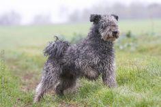 pumi dog photo | Dog Breeds / FCI Group 1 / Pumi / pumi_0037 - Royal Canin