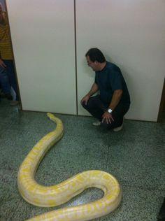 """Heber Dias @prosapolitica  2 minHá 2 minutos @jlgoldfarb  Acabo de receber uma visita 'exótica e inusitada"""". Uma linda Python Molurus Bivittatus. pic.twitter.com/MFWIb1RdGi"""