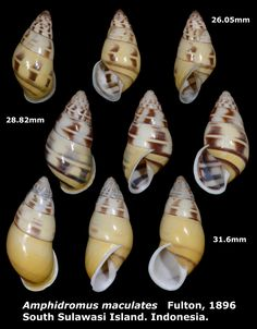 "https://flic.kr/p/upAraV | Amphidromus maculatus 26.05 to 31.6mm | Phylum: Mollusca 軟體動物門 Class: Gastropods 腹足綱 Family: Camaenidae 南亞蝸牛科 Scientific name: Amphidromus maculatus Chinese name: Author: (Fulton, 1896) Size: 26.05 to 31.6mm Description: Found from 300 meters altitude ""Bone"" forest, South Sulawesi Island. Indonesia. January 2015.  More detail photo, please click the following link."