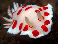 Chromodoris tasmaniensis / Bare Island / by Doug Anderson I have a dress that looks like this. Life Under The Sea, Under The Ocean, Sea And Ocean, Underwater Creatures, Underwater Life, Ocean Creatures, Beautiful Sea Creatures, Animals Beautiful, Sea Snail