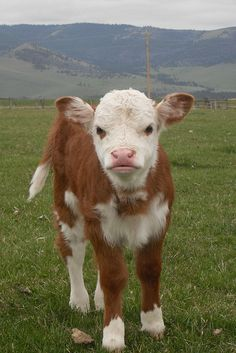 Someone get me this cute Calf please