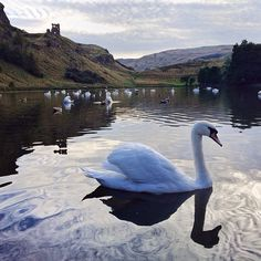 Swans in St. Margaret's Loch in Holyrood Park, with the ruins of St. Anthony's Chapel behind them. Great place to explore outdoors in the heart of a city! #explore #daysout