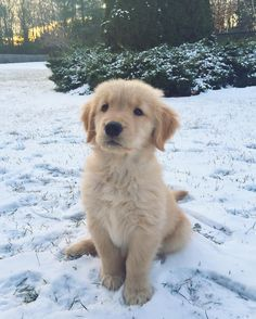 Golden Retrievers love all forms of water...even snow