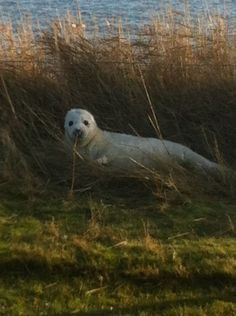 Seal at Vlieland