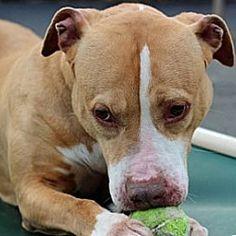 Port Washington, New York - Pit Bull Terrier. Meet Penny, a for adoption. https://www.adoptapet.com/pet/8614210-port-washington-new-york-pit-bull-terrier-mix