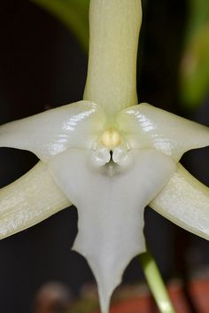 Darwin's Orchid: Angraecum sesquipedale  Flickr - Photo Sharing!