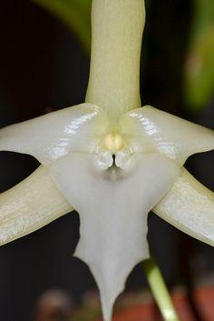 Angraecum sesquipedale    Darwin's orchid