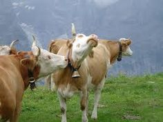 I think these Kissing Swiss cows could give the Happy California cows a run for their money.