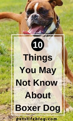 Read 10 things about the Boxer dog breed including information about its personality traits and origins Boxer Dog Breed, Boxer Dog Puppy, Dog Cat, Dog School, German Shepherd Puppies, Training Tips, Pet Birds, Best Dogs, Dog Breeds