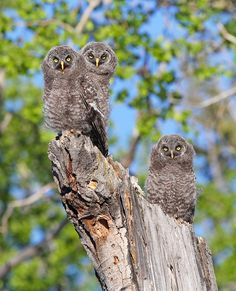 Great Gray Owlets by Canonshooterman, via Flickr