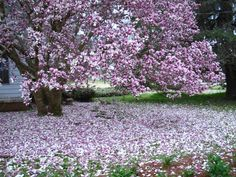 Japanese Magnolia (AKA) Saucier Magnolia. Blooms only 7 days out of the year but when it does, it gorgeous! Thrives in the South. Blooms in early Spring