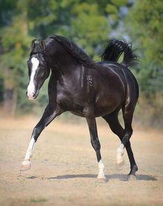 mare RADHA Owner: HukamGarh Stud, India ©Ekaterina Druz, wild, horse, black beauty, hest, animal, beautiful, gorgeous