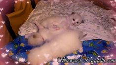 Ragdoll Cattery, Ragdoll Kittens For Sale, Kitten For Sale, Daily Pictures, Facebook, Pets, House, Animals, Home