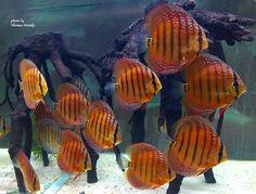 Cichlid Fish, Discus Fish, Cichlids, Biotope Aquarium, Discus Aquarium, Aquariums, Tropical Freshwater Fish, Freshwater Aquarium Fish, Discus Tank