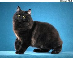 """""""MinusDetails Bear Butt"""" {one of the best black cat names} months old) - a solid black Cymric. A Cymric is Rare Cat Breeds, Rare Cats, Cats And Kittens, Kitty Cats, Manx Kittens, Cymric, Cool Cats, Ragamuffin Cat, Manx Cat"""