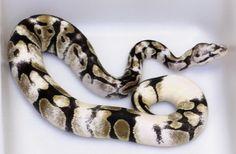 Paradox Pied Ball Python