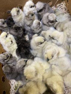 Bantam Breeds, Rhode Island Red, 3rd Baby, Old English, Poultry, Shag Rug, Birds, Shaggy Rug, Backyard Chickens