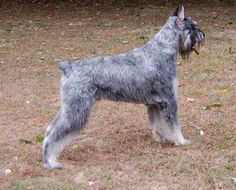 Image result for salt and pepper giant schnauzer