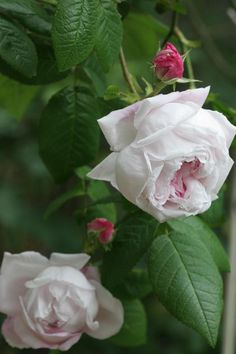 Rosa 'Antonia d'Ormois' (France, before 1835) Bred by Jean Pierre Vibert France. Gallica rose with light pink petals.