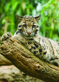 Adopt a Clouded Leopard - Wildlife Adoption and Gift Center