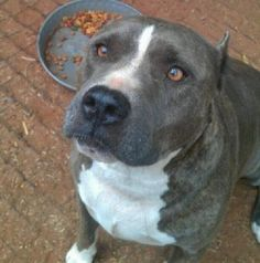 Meet Justice, a Petfinder adoptable Pit Bull Terrier Dog | Blanchard, OK | Meet Justice.  He is 3-5 yrs old. He seems to get along with other dogs. He is a very sweet boy. He...