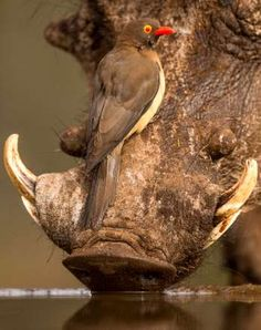A red billed ox-pecker sits on a warthog