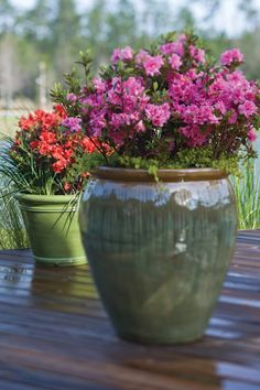 """Azaleas can be kept in containers! As azalea grows, it will need wider (2' wide) pot to accomodate azaleas' shallow spread of roots. Too small a pot will stunt roots. Harsh winters may kill them, so bring indoors overwinter. Potted azaleas will need more water than those in the ground. (""""Container Planting Encore Azaleas 