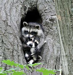 My Lovely Raccoon Family from Neighbour Forest