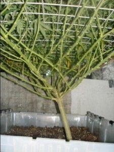 Screen of Green (SCOG) Growing Marijuana -