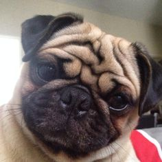 Looks like Mr.Pug took a selfie . Labrador Puppies Price, Pug Puppies, Pug Love, I Love Dogs, Funny Animals, Cute Animals, Pugs And Kisses, Pug Pictures, Cute Pugs