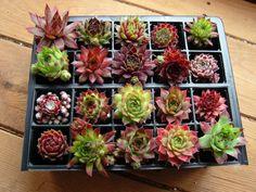 A Collection of 20 named Sempervivum (house leeks) | eBay