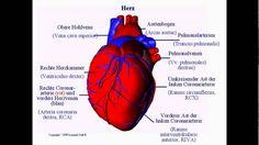 bilder herz anatomie bilder herz anatomie Das menschliche Herz ist das zentrale Organ des Blutkreislaufs und funktioniert als Druck- und Saugpumpebilder herz anatomie die pro Minute etwa 5 bis 6 Liter Blut durch den menschlichen Körper pumpt bilder herz anatomie.