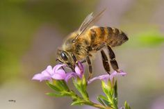 Honey bee Photo by Sabry Mason — National Geographic Your Shot