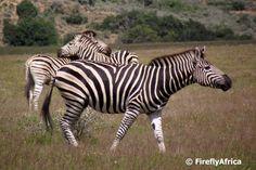 Horse and Donkey Mix | Zebra Donkey Horse Donkey in pajamas