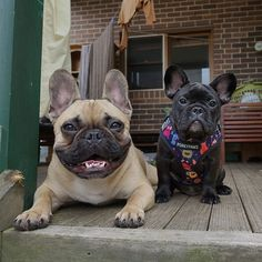 Toby rocking the bare look.. Onny rocking @porkypaws the Purple People Eater harness . Have a wonderful weekend everyone. We love you lots! French Bulldogs