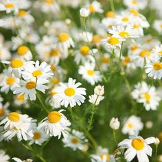 Chamomile | Healing Herbs And Spices To Grow In Your Garden