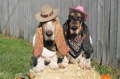 Cowboy basset hounds #dog #cute #costume