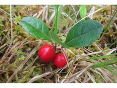 A low, woody ground cover, wintergreen is grown for its evergreen foliage, flowers, and berries. Two to six inch branches arise from creepin...